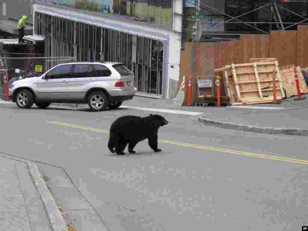 عبور یک خرس قهوه ای از یک خیابان پرتردد در پایتخت آلاسکا