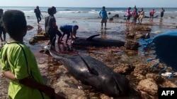 Para penduduk desa dan petugas kemaritiman memeriksa paus-paus yang terdampar di Pantai Kolo Udju di Desa Menia, Nusa Tenggara Timur, 11 Oktober 2019. (Foto: AFP)