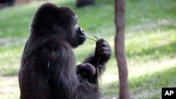 El 98% de los genes de los gorilas y los humanos son idénticos; los humanos y los chimpancés en tanto, comparten el 99% de su ADN.