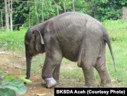 Salma gajah Sumatera betina berusia 1,5 tahun semasa hidup di CRU Serbajadi, Aceh Timur, Aceh. (Foto: BKSDA Aceh).