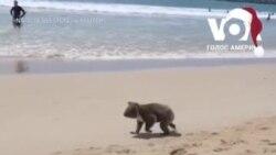 На австралійський пляж прийшла коала. Відео
