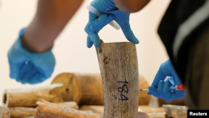 6d4db3782d2b FILE - A Thai forensic expert collects a DNA sample from a confiscated  elephant tusk