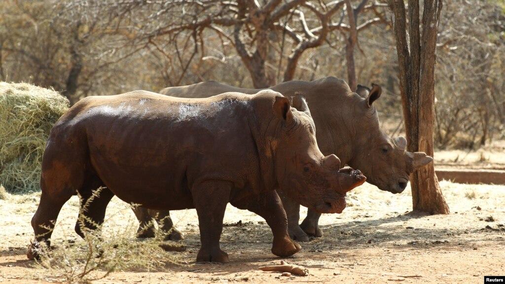 R Rhino Usage Warning S  Africa Sentences Rhino Horn