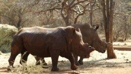 Saf / Rhino Horns