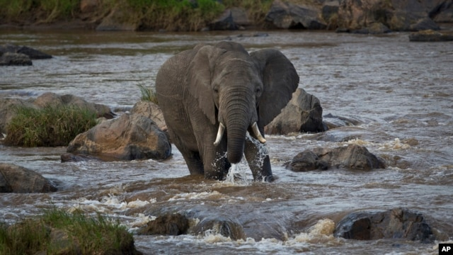 FILE - An elephant crosses the Mara River in the Maasai Mara, Kenya, July 6, 2015. Six elephants were found dead in three wildlife refuges in Narok County, southwest Kenya.