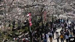 Hoa anh đào tại công viên Sumida ở Tokyo, ngày 29/3/2014.