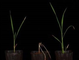 Two salt-tolerant rice varieties developed with the new methods. The parent variety, in the middle, is not salt-tolerant.