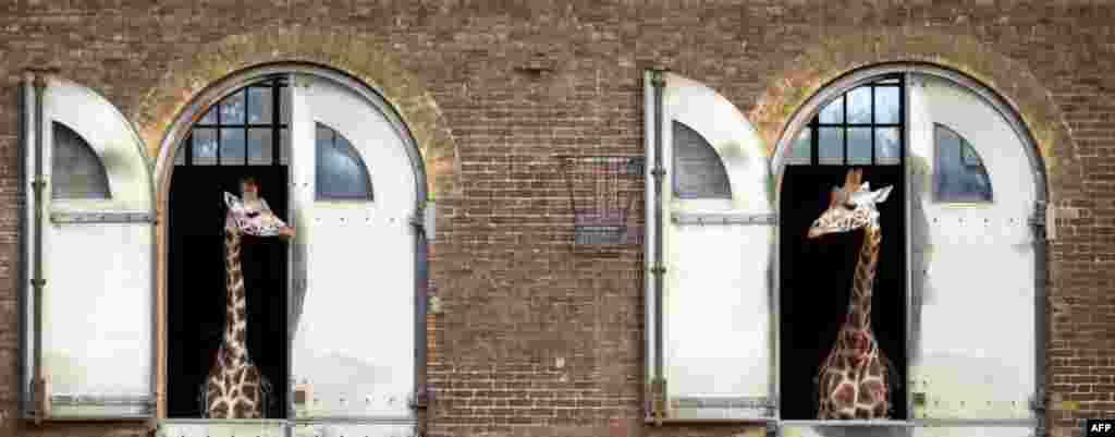 دو زرافه از پنجره های محوطه باغ وحش لندن به يکديگر نگاه می کنند. (AFP)