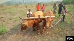 Bulls plough at Mbankana in western DRC, July 26, 2015. (N. Long/VOA)