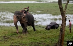 An Indian forest official rides an elephant and pulls the carcass of a female one-horned rhino killed in the recent flood situation in northeastern state of Assam, at Pobitora Wildlife Sanctuary, about 55 kilometers (34 miles) east of Gauhati, India, Sund