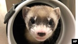 In this photo provided by the U.S. Fish and Wildlife Service is Elizabeth Ann, the first cloned black-footed ferret and first-ever cloned U.S. endangered species, at 50-days old on Jan. 29, 2021. (U.S. Fish and Wildlife Service via AP)