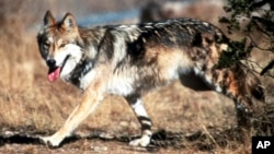 FILE - In this undated photo provided by the U.S. Fish and Wildlife Service, a Mexican gray wolf leaves cover at the Sevilleta National Wildlife Refuge, Socorro County, New Mexico.