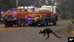 یک والابی در حال فرار کردن از محل آتشسوزی در نزدیکی کوه «منگروو» در شمال سیدنی
