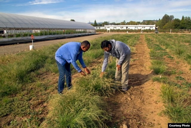 Graduate students examine teff grass at the Nevada Agriculture Experiment Station at the University of Nevada-Reno. The research team is also working on genetic and agronomic field crop and soil management approaches to make the stems less prone to breaking. (Credit: Whip Villarreal)