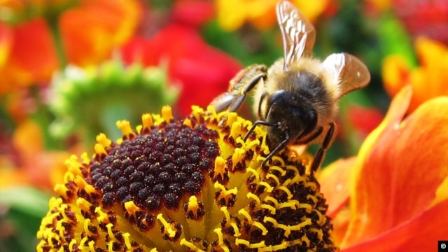Honeybees, a managed species that are trucked to farms, pollinate about 70 percent of the world's food crops. (photo credit: Tracey Newman)