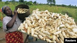 A subsistence farmer stacks her crop of maize in Chivi, southeast of the capital Harare, Zimbabwe, April 1, 2012.