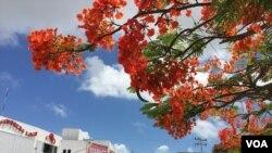 Cancún đang mùa phượng nở. (Ảnh: Bùi Văn Phú)