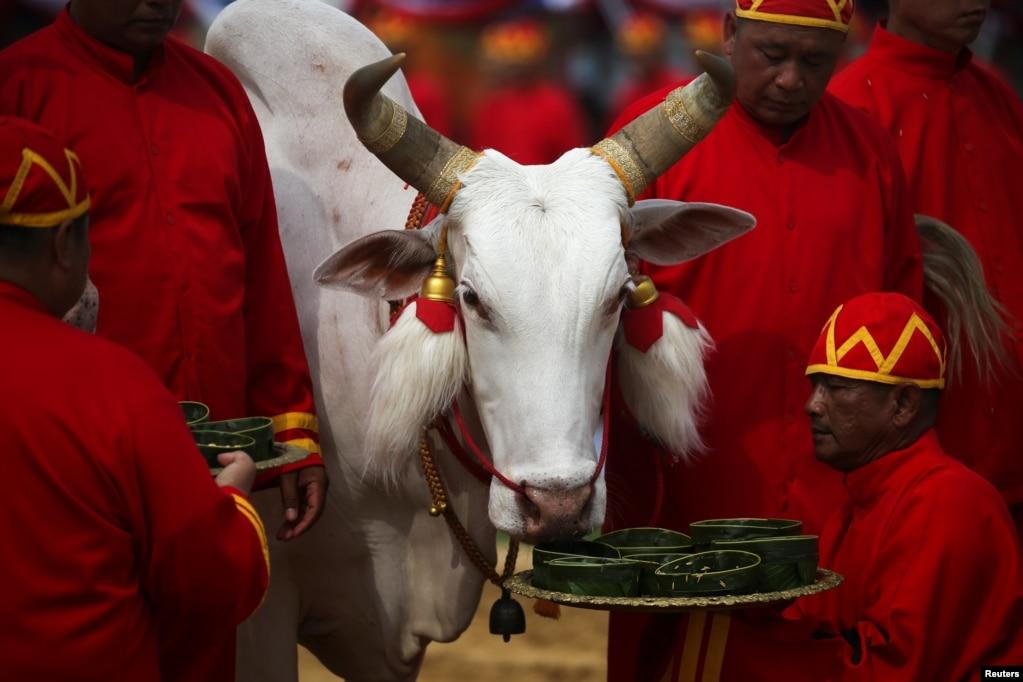태국 방콕에서 열린 연례 왕궁 경작 기념식에서 전통 의상을 입은 관계자가 소에게 먹이를 주고 있다.