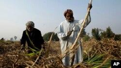 Pakistani farmers work in sugar-cane