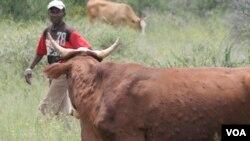 Ilizwe leBotswana lithi inkomo zeZimbabwe zilakho ukuletha imikhuhlane elizweni leli.