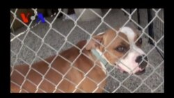 Pit Bulls and Parolees: A Second Chance for Both (VOA On Assignment Sept. 6)