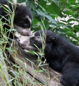 These Andean bear cubs, born in January 2010, were the first to be born at the National Zoo in 22 years.