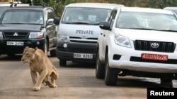 Simba akiwa barabarani jijini Nairobi Kenya.