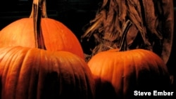 These pumpkins might find their way into pumpkin pie enjoyed as American families gather for the Thanksgiving Day holiday