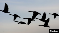 Canada geese head south for the winter from Manitoba.