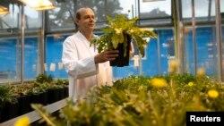 Dirk Pruefer revisa una planta de diente de leon en un vivero en el Fraunhofer Institute for Molecular Biology and Applied Ecology (IME) en Muenster, Alemania.