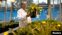 Dirk Pruefer checks dandelions at a greenhouse at the Fraunhofer Institute for Molecular Biology and Applied Ecology (IME) in Muenster August 14, 2014. Research teams are competing across the world to breed a type of dandelion with milky fluid to produce rubber particles. (REUTERS/Ina Fassbender)