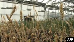 Các nhà khoa học trồng lúa mì trong nhà kính