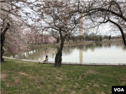 A woman sits on the ground as she is surrounded by blooming cherry trees along Washington's Tidal Basin. (Photo by Susan Shand)