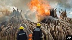 En images: l'historique incinération de 150 tonnes d'Ivoire au Kenya