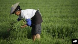 중국 윈난성 잉장의 농부. (자료사진)