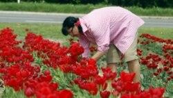 A woman picks tulips in Pulheim, Germany