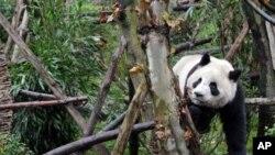 چین: پانڈوں کی افزائشی مرکز سے جنگل منتقلی