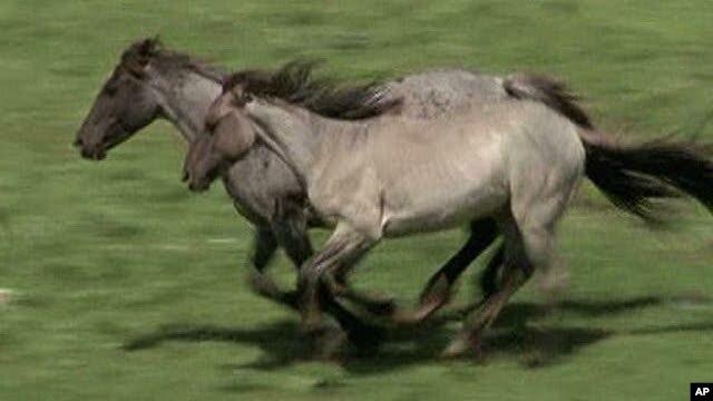 Critics Protest Capture of Wild Horses