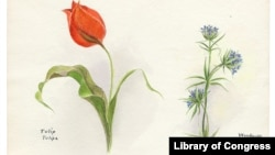 A botanical illustration showing a tulip and woodruff from 1931 (Credit: U.S. Library of Congress).