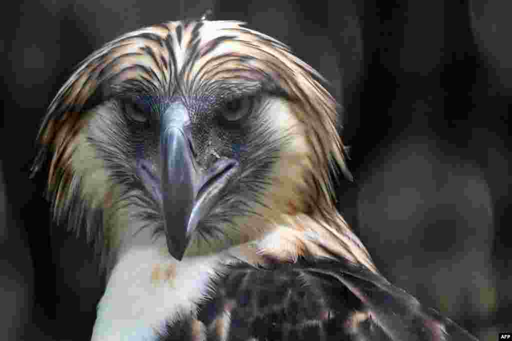 A male Philippine eagle named Geothermica is seen in an exclosure at Jurong Bird Park in Singapore.