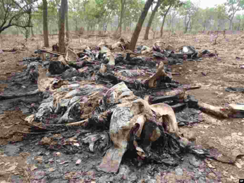 In this February 2012 photo released by Boubandjida Safari Lodge, the carcasses of elephants slaughtered by poachers are seen in Boubou Ndjida National Park, located in Cameroon, near the border with Chad. Poachers have slaughtered at least 200 elephants