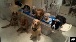 Scientists in Hungary studied how dogs process language.