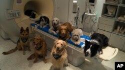گروهی از سگ هایی که توسط پژوهشگران در مجارستان، برای بررسی نحوه درک سخنان انسان، تحت آزمایش قرار گرفته اند -