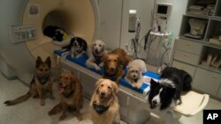 In this undated photo provided by the MR Research Center some trained dogs involved in a study to investigate how dog brains process speech sit around a scanner in Budapest, Hungary.