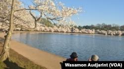 Cherry Blossoms reach their peak bloom at Tidal Basin, Washington, D.C.