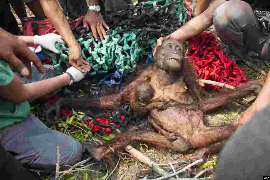 This handout photograph taken on Oct. 14, 2015 by International Animal Rescue shows a baby orangutan, Anti, holding onto her malnourished mother while being rescued in the village of Kuala Satong in West Kalimanta province. An endangered Borneo orangutan and her baby escaped from raging fires in Indonesia that destroyed their forest habitat -- only to be attacked by angry villagers, an animal rights group said.