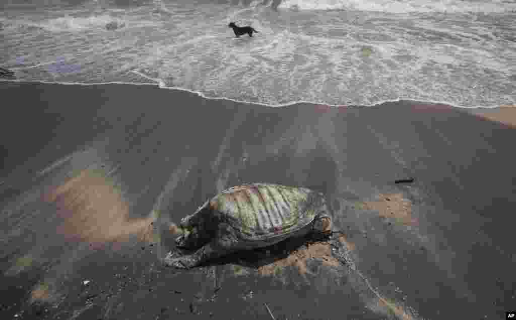 Şri-Lankada kimyəvi maddələr daşıyan konteyner gəmisinin batmasından sonra çirklənmiş çimərlik