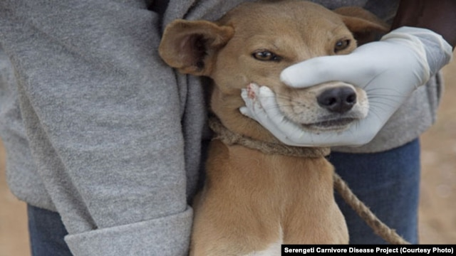 A dog's muzzle is held shut by a volunteer as the animal is vaccinated against rabies in Tanzania. (Courtesy/Serengeti Carnivore Disease Project)