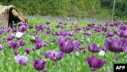 FILE - A handout picture taken in February 2006 by United Nations Office on Drugs and Crime (UNODC) shows a poppy field in a jungle in the northern province of Phongsali.