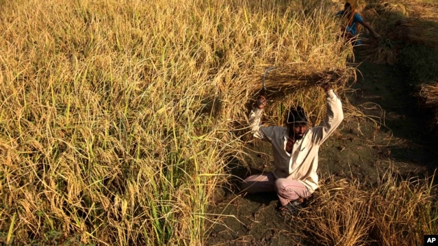 An Indian farmer harvests rice crop in a field on the outskirts of Jammu, India, October 30, 2012.